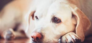 Is Your Dog Suffering From Depression?
