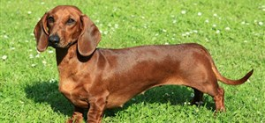 Dachshund Care Issues to be Aware of